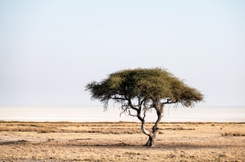A tree in front of Etosha Pan in the Etosha National Park in Namibia