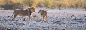 Lions; Susan Greeff; Photography