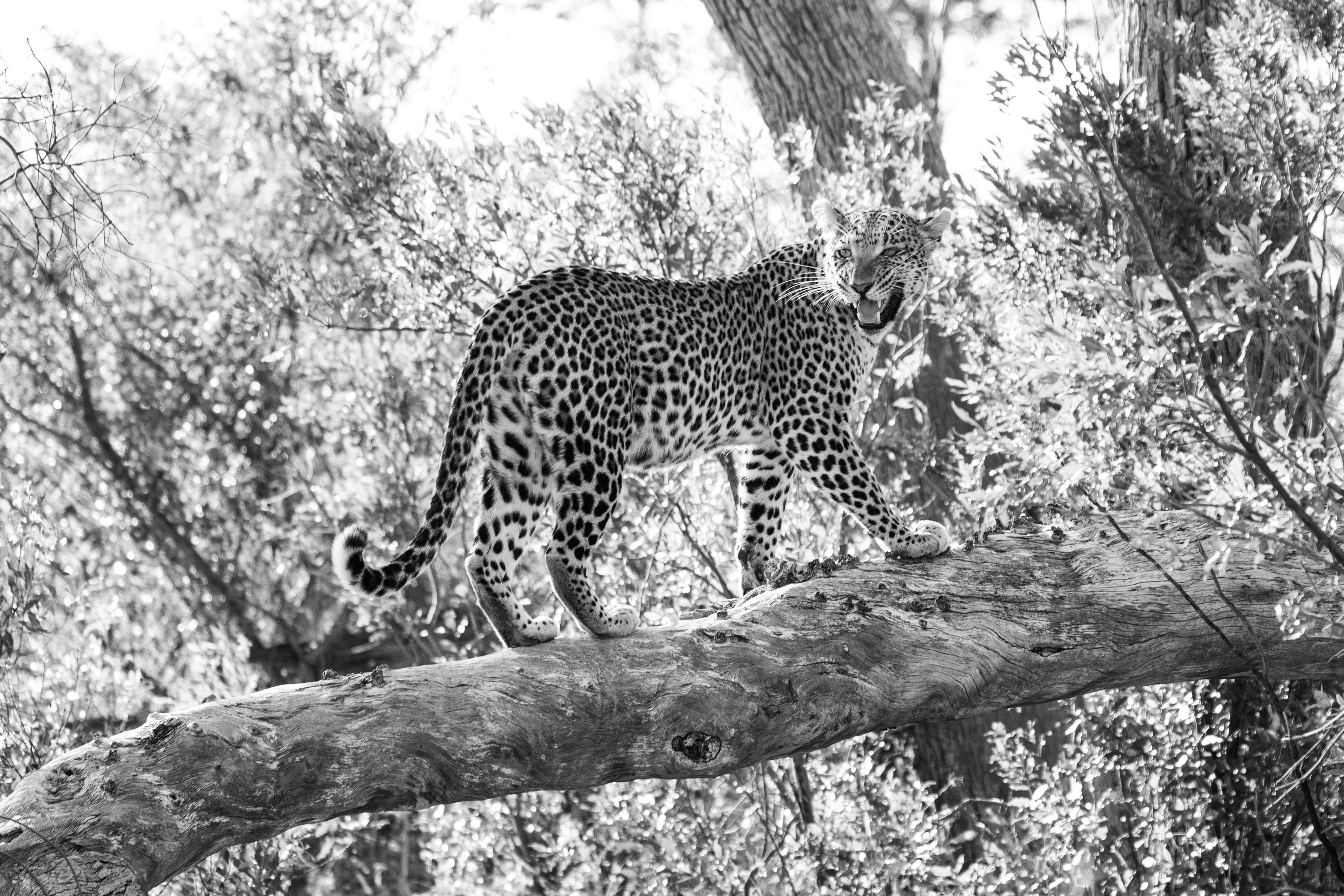 Leopard; Susan Greeff; Photography